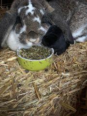 Widder-Mix Kaninchen