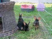 Zauberhafte Kaninchenbabys Hasenkaninchen