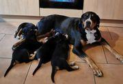 Großer Schweizer Sennenhund Welpen suchen