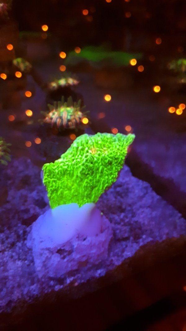 Montipora Platte grün