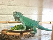 Iguana Iguana grüner Leguan axanthic