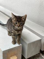 Katzenbabys kitten bkh mix
