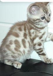 Kitten Kätzchen Bengal snow lynx