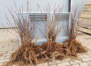 Aronia-Pflanzen NERO 2- und 3-jährige