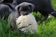 Bulldoggen Labrador Mischlingswelpen