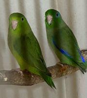 Sperlingspapageien Augenring Paar