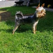 Mini Yorkshire Terrier Deckrüde kein