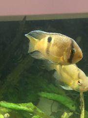 2 Barsche Maronibuntbarsch Fisch Aquarium