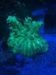 Hydnophora Meerwasser koralle