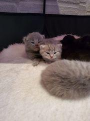 Reinrassige BKH Kitten abzugeben