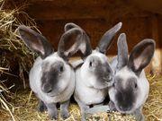 Marder Rex blau Kaninchen