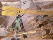 Nestjunger Wellensittich zu verkaufen oder
