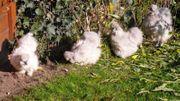 Bruteier Zwergseidenhühner perlgrau