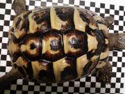 Griechisches Landschildkröten Weibchen von 2009