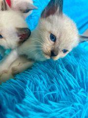 Siam-Spynx-Mix Kitten suchen ein Zuhause