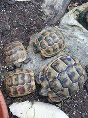 Schildkröte - Nachzuchten Maurische Landschildkröten TGI