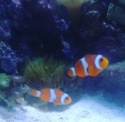 Pärchen falsche Clownfische abzugeben