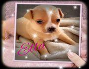 Sehr schöne reinrassige Chihuahua Welpen