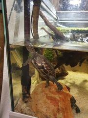 Chinesische Dreikielschildkröten