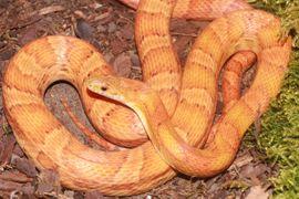 Reptilien, Terraristik - 1 0 Sunkissed het Lava
