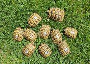 Griechische Landschildkröten THB NZ 2017