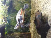 Rotbauch Spitzkopf Schildkröte