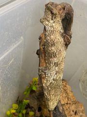 Rhacodactylus leachianus Nuu Ana