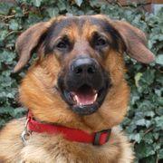 Buddylino 1 Jahr - Schäferhund-Mix - Tierhilfe