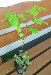 Haselnuss Baum ca 40 cm