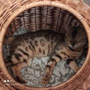 Bengal Kitten Reinrassig Wurfankündigung