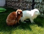 2 Zwergkaninchen Kaninchen Zwergwidder Kastrat