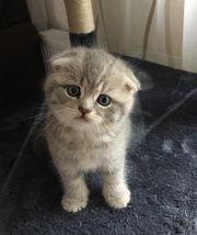 BKH SF Kitten sucht liebevolle