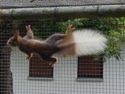 Europäisches Eichhörnchen Männchen