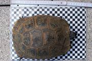 Maurische Landschildkröte eierlegendes Weibchen