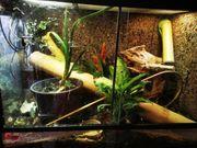 Madagaskar Taggeckos mit Terrarium zu