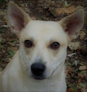 Cremefarbener Rüde Husky-Labrador weiß