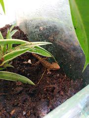 Lepidodactylus lugubris-Jungferngeckos NZ 2019 abzugeben