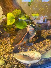 emydura subglobosa Wasserschildkröte Rotbauch spitzkopfschildkröte