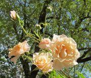 Eine wunderbar duftende rosa lachs