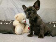 Französische Bulldogge Welpen mit mehr