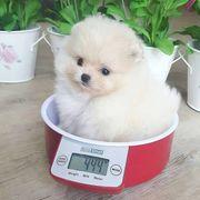 Super Pomeranian Puppies jetzt erhältlich