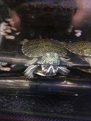 Schildkröte ist verfügbar Terrarium ist