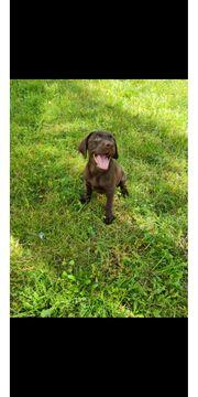 Wunderschöne Labrador hündin Schoko braun