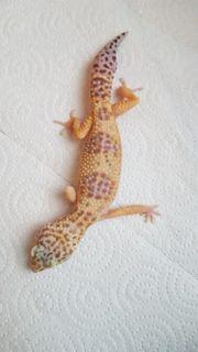 3 Leopardgecko Weibchen