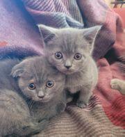 Schottisch fold Kitten