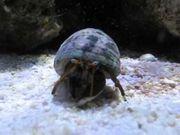 Meerwasser Einsiedler Krebse