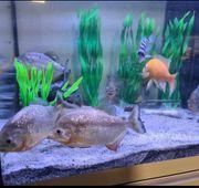 10 Rote Piranhas 5 STK 80