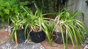 Verschenke weiße Schmucklilien