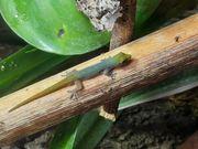 Lygodactylus conraui ghana NZ20