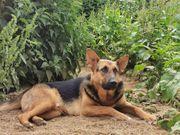 Hübscher Schäferhund Malinois Mischling Wusel